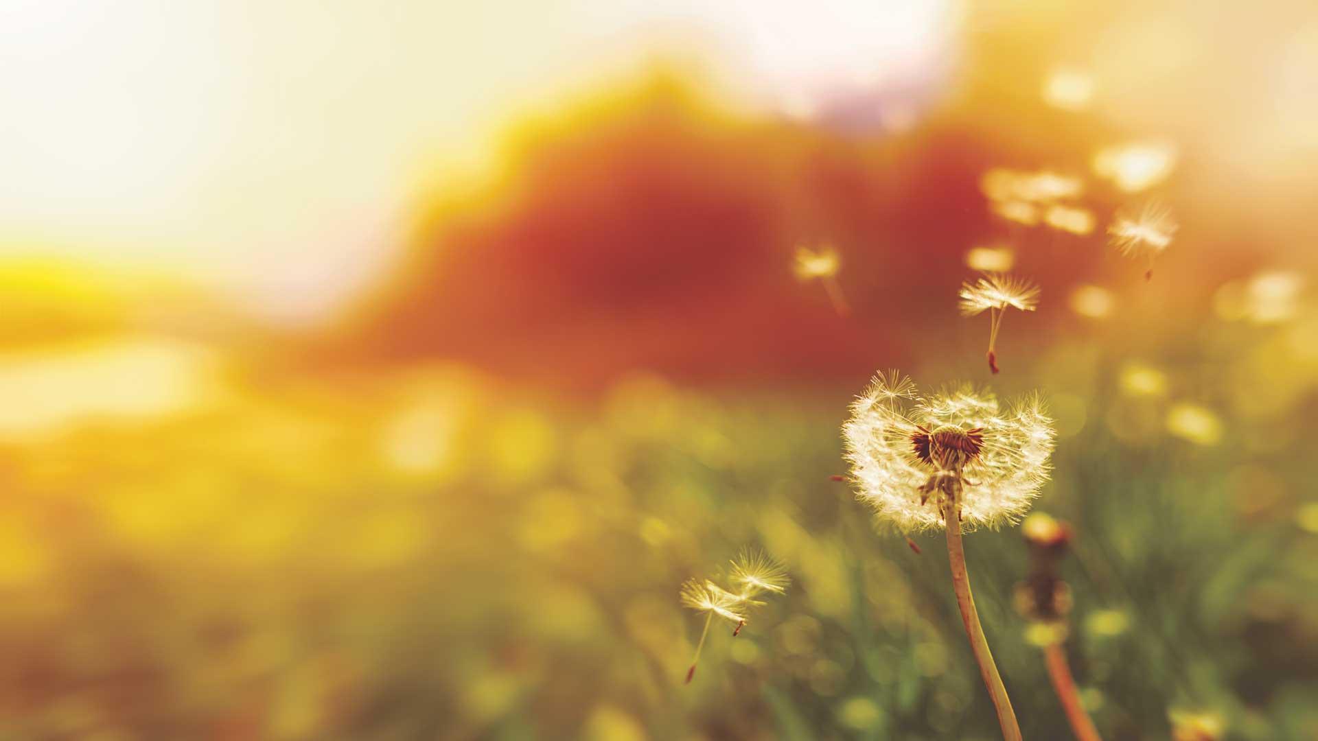 Dandelion in breeze